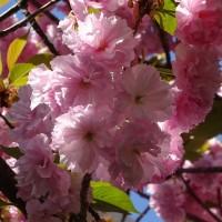 今年も最後の桜は・・・うちの桜