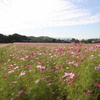 亀山市「三寺地区のコスモス畑」へ