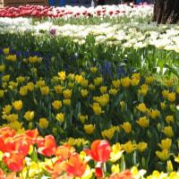 今年も横浜公園のチューリップ