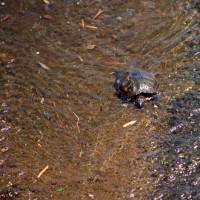広瀬川のガメラ発見 D5