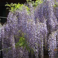 今年の藤の花