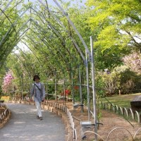 花の旅・足利フラワーパークの大藤編