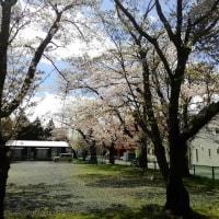 西公園の桜が咲く。