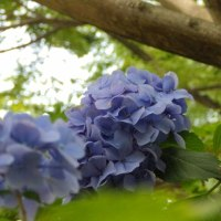 6/18_紫陽花