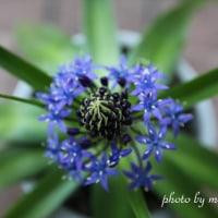 シラーの花