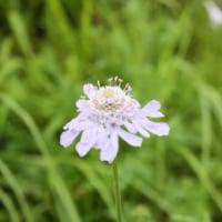 「おはようの花」 マツムシソウ(松虫草)