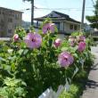 一関市東山町のフヨウ(芙蓉) 2017年7月26日(水)