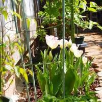 咲いたさいたチーリップの花が