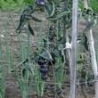 黒トマト  雑草取り