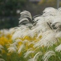 黄金色の実り ・・ 稲刈り ・・ 稲架 ・・ 俳句 ・・ あぁ松島や ・・