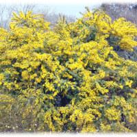 春を象徴する花「ミモザ」(^^♪ほんのり甘~い香りの、花言葉は、「プラトニックな愛」、「秘密の愛」