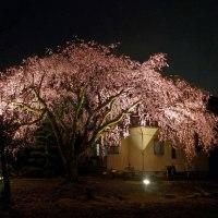 枝垂れ桜 2017
