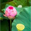 万博公園/日本庭園ハスの終わりと咲き始め