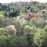 旭川の桜は見頃が終りそう- その2