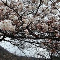 桜三分咲き