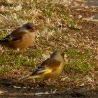 カワラヒワリンは春告げ鳥?