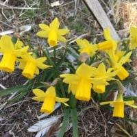 カタクリが咲きました。   遺産の森       2017.3.19
