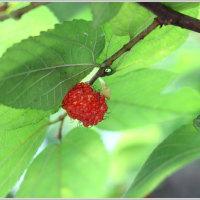 コウゾの赤い実