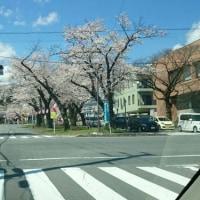 飯田の桜も満開