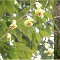 土佐水木の花