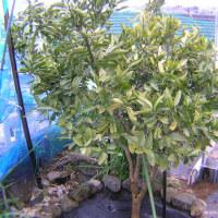 カリフラワー栽培2016年、オレンジ美星の収穫、みかんスイートスプリングに寒肥
