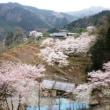 里山も桜満開 そして悲しい知らせ
