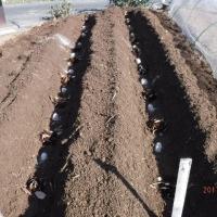 ジャガイモを植えつけました!そしてミノムシも。