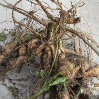 シカク豆の根が食べられると書いてあったので食べてみた