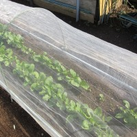 小松菜が大きく成長です。ネットを掛けます。