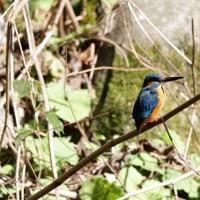 2/21探鳥記録写真-2(山田緑地の小鳥たち:カワセミ)