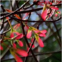 花の木の花とハンカチの木の花。        17・4月20日