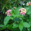 とにかくタフ ランタナの花