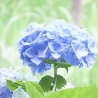 今年の思い出紫陽花
