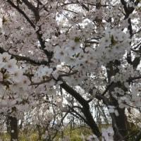 桜のシャワー。