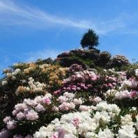星野村のシャクナゲの花