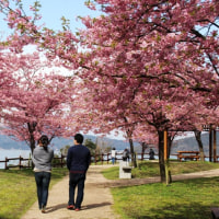 上関の河津桜