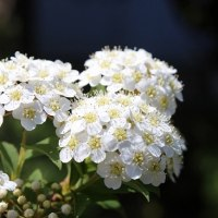 セントーレア ブラックスプライト開花