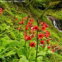 醤油樽の滝 渓谷に咲くクリンソウ