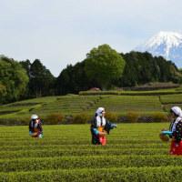 富士市大渕お茶まつり