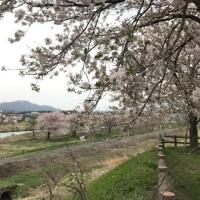 新潟上越地方  新たな桜の名所