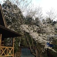ログハウスの桜満開♪