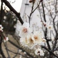 たまプラーザ団地 梅の花