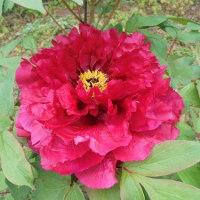 実家で①牡丹の花と芍薬
