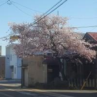 長井まちなか桜回廊 満開 その1