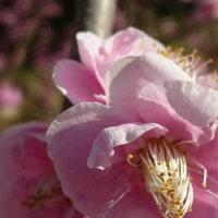 冠山梅園の梅