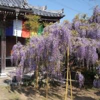 子安地蔵寺の藤(^^)