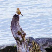 びわ湖畔のモズ鳥