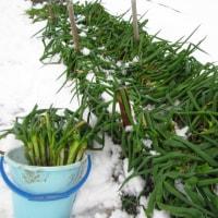 雪下野菜の収穫 その2
