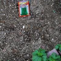 ホウレンソウ 赤はつか大根 ツルナシインゲンの種を庭に蒔きました