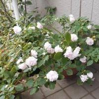 八重咲きインパチエンス